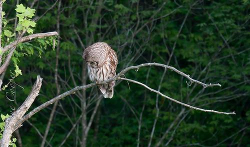 Barred Owl-5.jpg