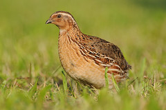Coturnix coturnix by Jan Svetlík, on Flickr