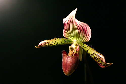 "Paph. Supersuk ""Eureka"" AM/AOS x Paph. Raisin Pie ""Hsinying"" x Sib"