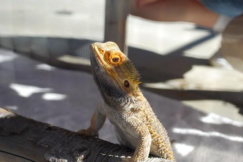 lizard guy