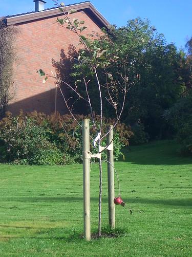 Landvetters tappraste äppelträd