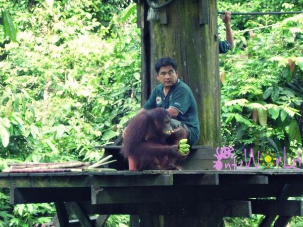 OrangUtan@Sepilok (19)
