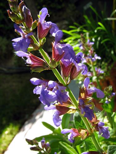 Sage-Blossoms