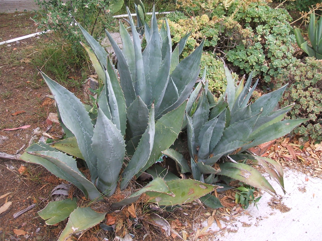 San Francisco street agaves