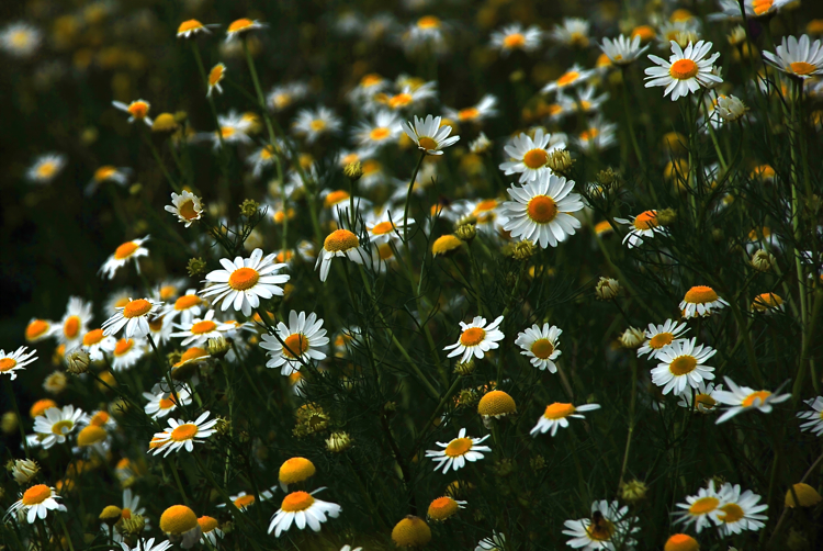 Thread-leaved Daisies
