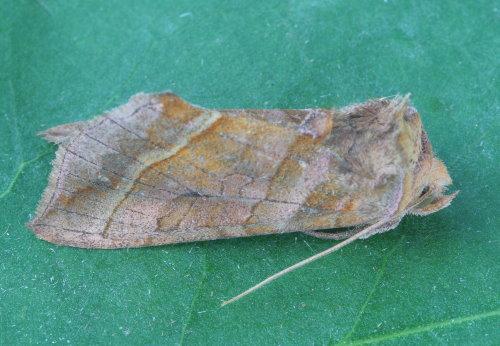 8896 - Diachrysia aereoides - Dark-spotted Looper
