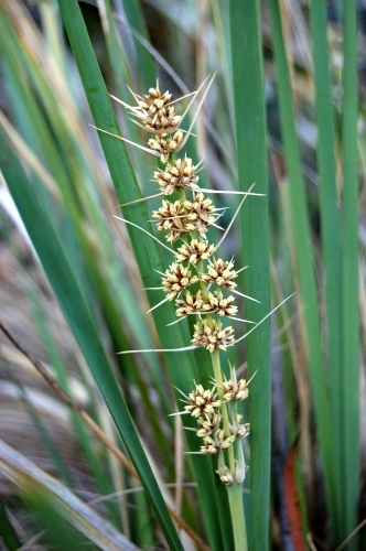 Lomandra longifolia (Sagg)