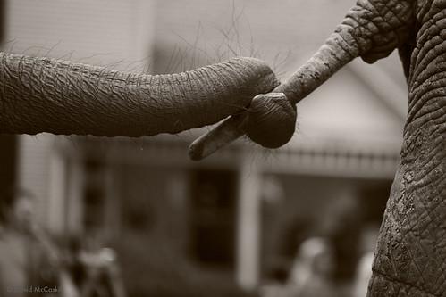 every parade needs elephants