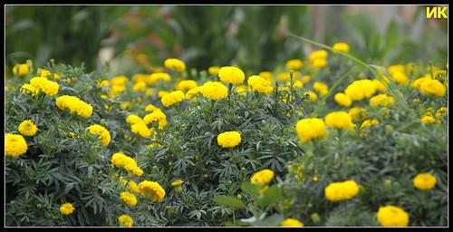 Flowers in a field near Rangasthala