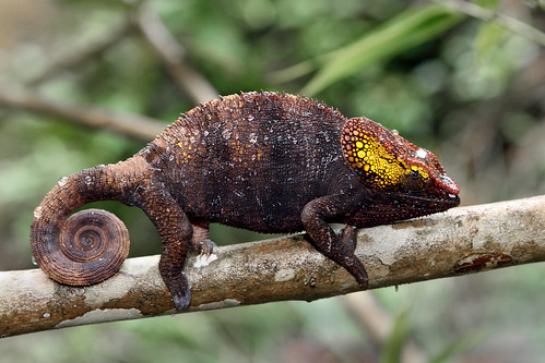 Chameleon in Andasibe