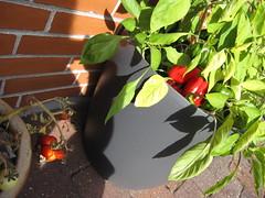 Terrasse-køkkenhave 2