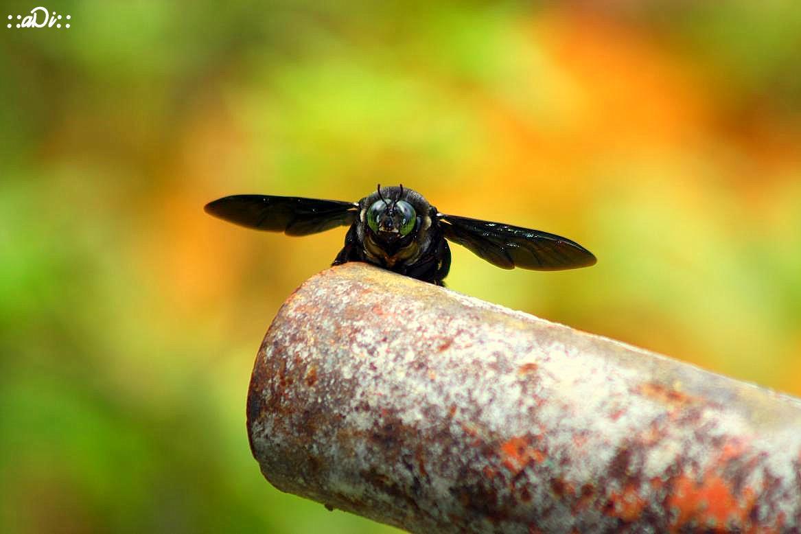 Kumbang Terbang