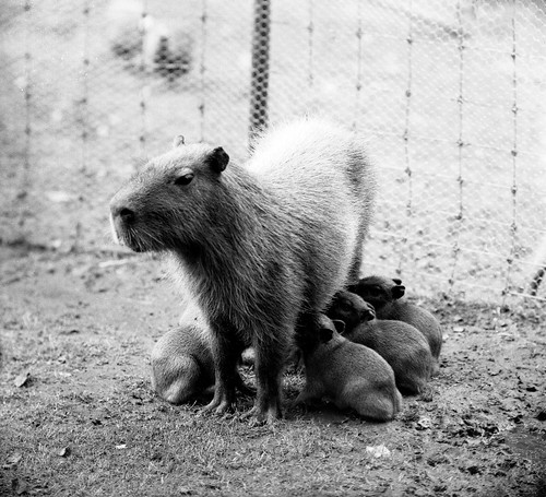 Capybara Nurses Young