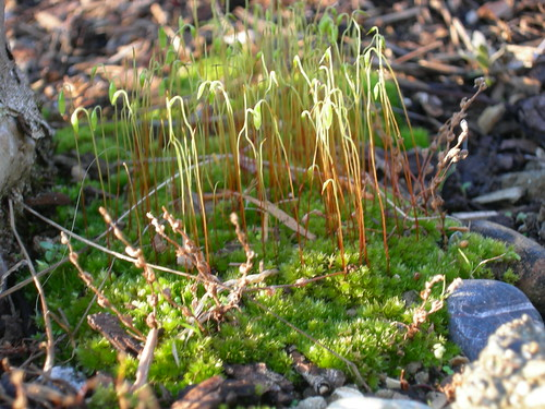 Moss sproutlings