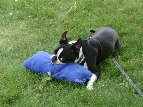 New Fleece Toy for Iggy Pup