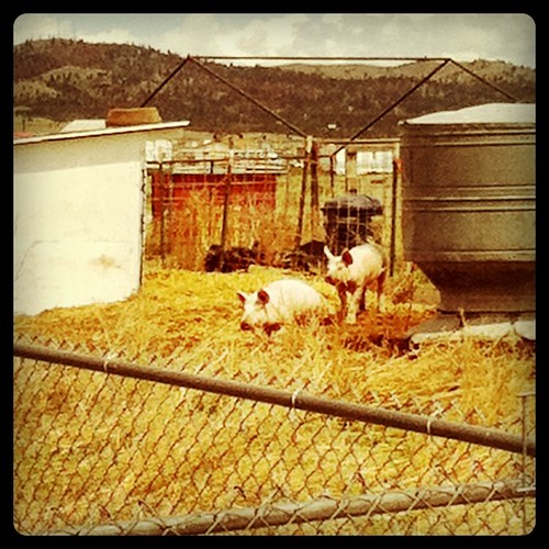 Piggies on my bike ride