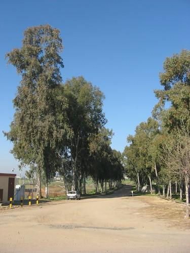 Alameda de Eucaliptos Campus Rabanales.
