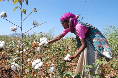 Image result for cotton picking in india