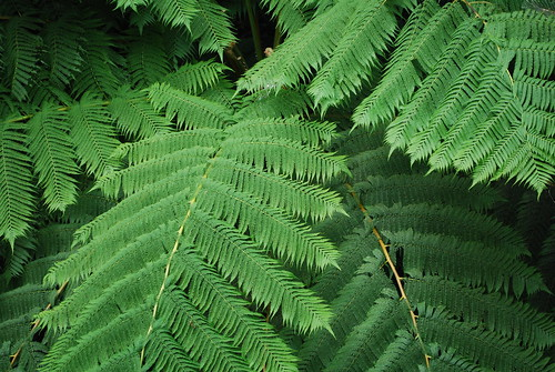 Giant ferns in the rainforest