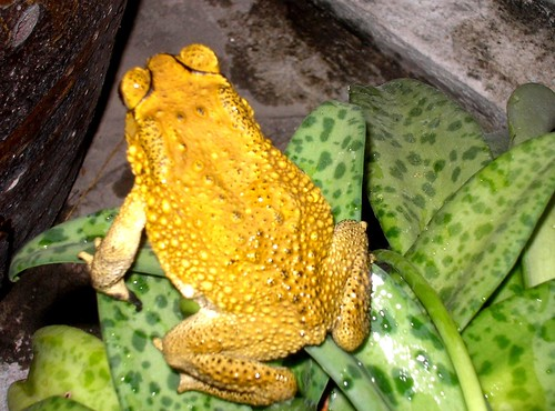 Yellow golden Toad