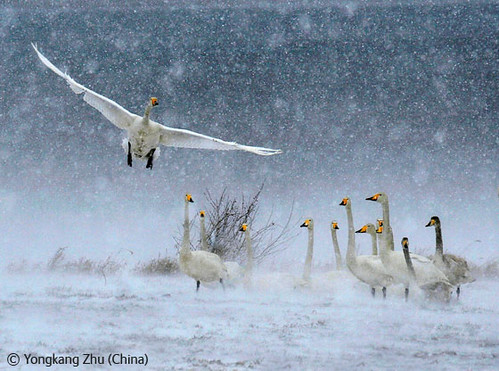 Snow swans by you.
