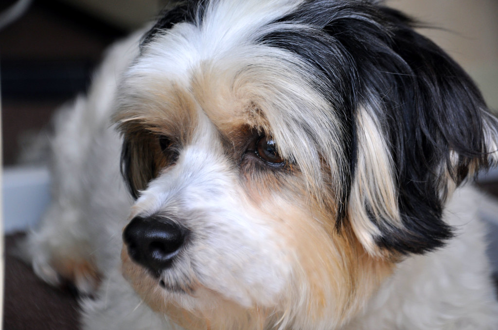 Shih tzu, Maltese and You are here on Pinterest