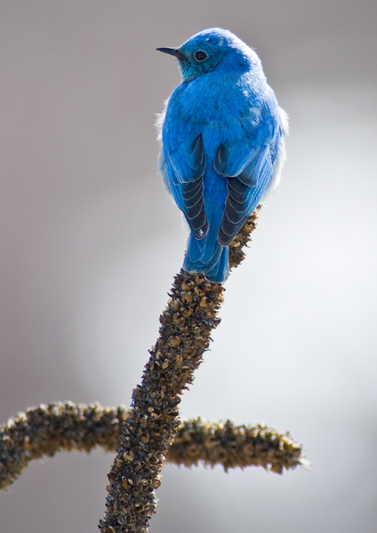 Mountain Bluebird on mullein