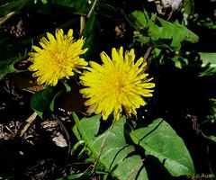 Why you should eat dandelions and a recipe