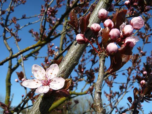 Ronja's tree blossoming