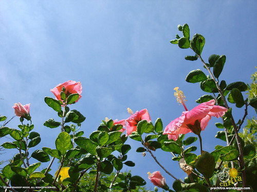 Hibiscus flowers gazing the sky