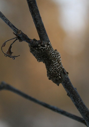 Old Tent Caterpillar egg case