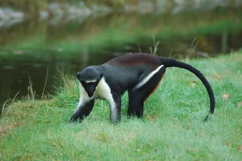 Dianameerkatze im Parc Zoologique de La Bourbansais