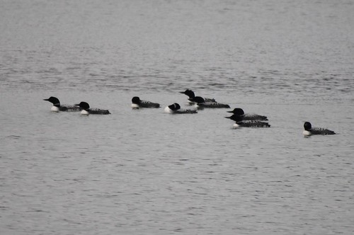 Common Loons