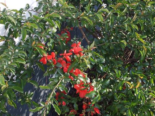 My fruit bush/tree in bloom