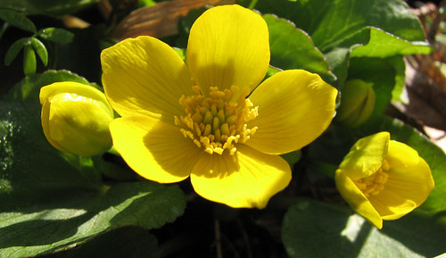 Marsh Marigold - flower and buds