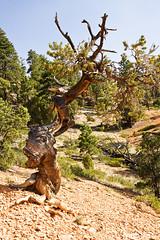 Fish Head Pinyon Pine