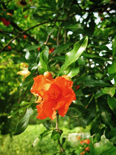 Williamsburg gardens flower