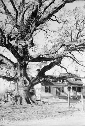 Wye Oak 1936