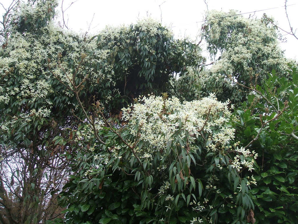 Giant clematis covers its tree host