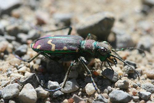 Green-margined Tiger Beetle, Cicindela limbalis