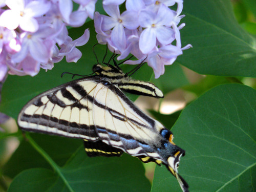 Swallowtail-on-Lilac