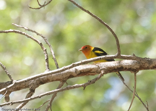 Western Tanager by you.