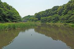 泉の森―しらかしの池(Pone, Izuminomori park, Yamato, Kanagawa, Japan)