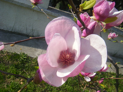A Magnolia Flower In Our Garden