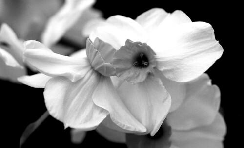 Daffodils. (Efke 25. Nikon F100. Epson V500.)