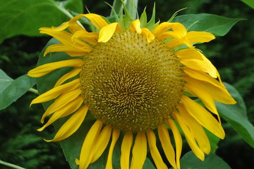 Sunflower Sam Closeup