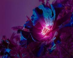 Fantasy_flower