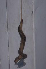 Slugs copulating 2