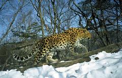 Borisovskii, male Amur leopard