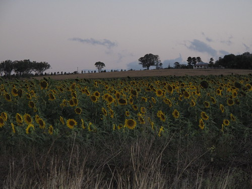 Field of Sunflowers on the Way